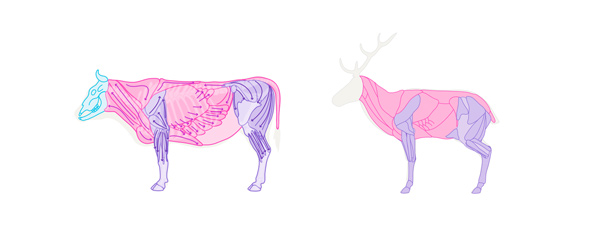 how to draw deer cow bull anatomy