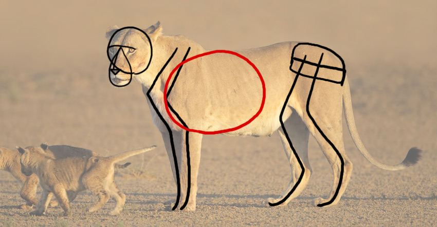how to draw animal torso