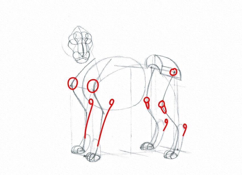 lion anatomy landmarks drawing