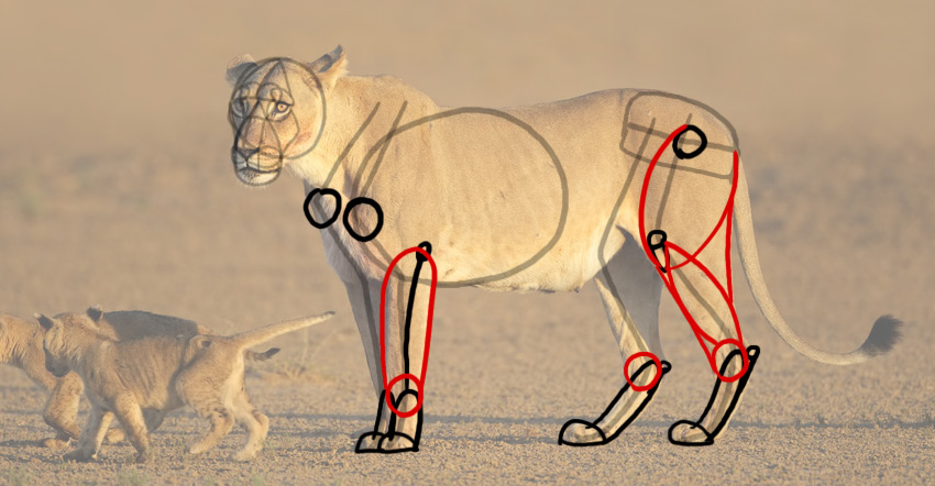 how to draw lion legs