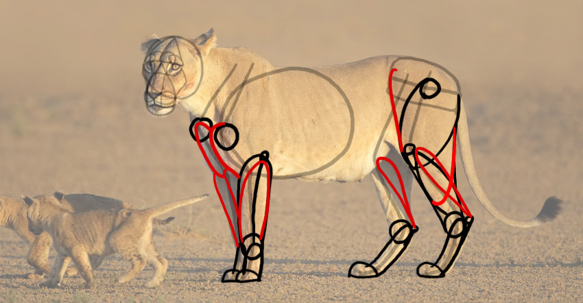 how to draw lion anatomy