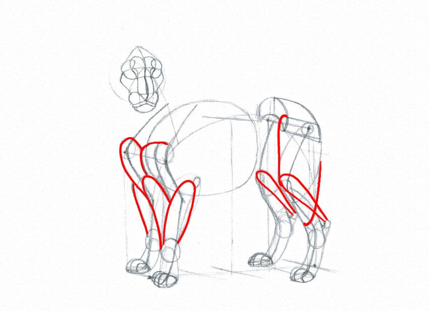 lion anatomy drawing