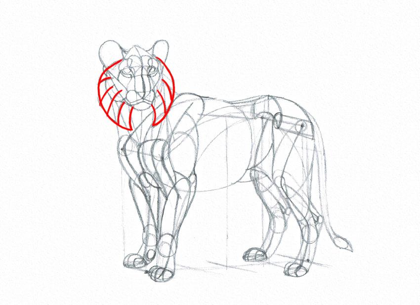 lion cheek mane drawing