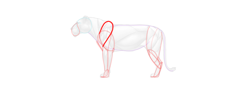 lion shoulder simplified