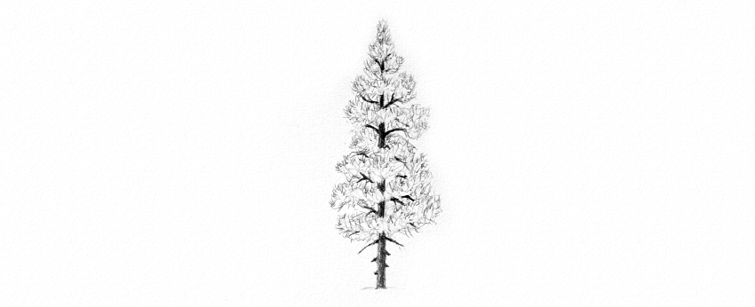 how to draw pine tree details