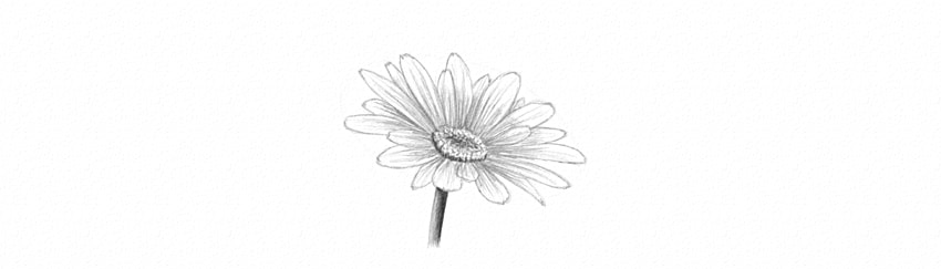 how to draw daisy flower shading
