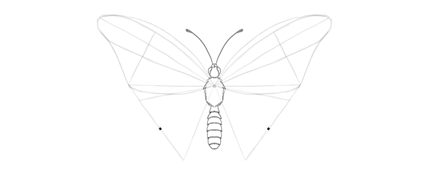 butterfly lower wing middle