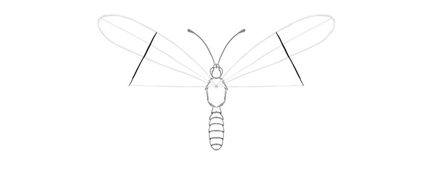 butterfly upper wings width