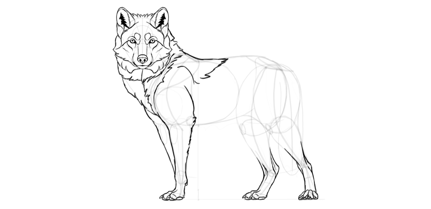 wolf drawing front leg fur
