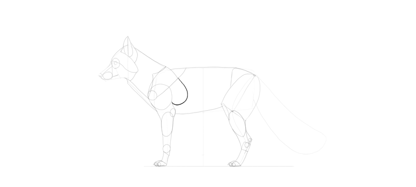 fox rib cape drawing