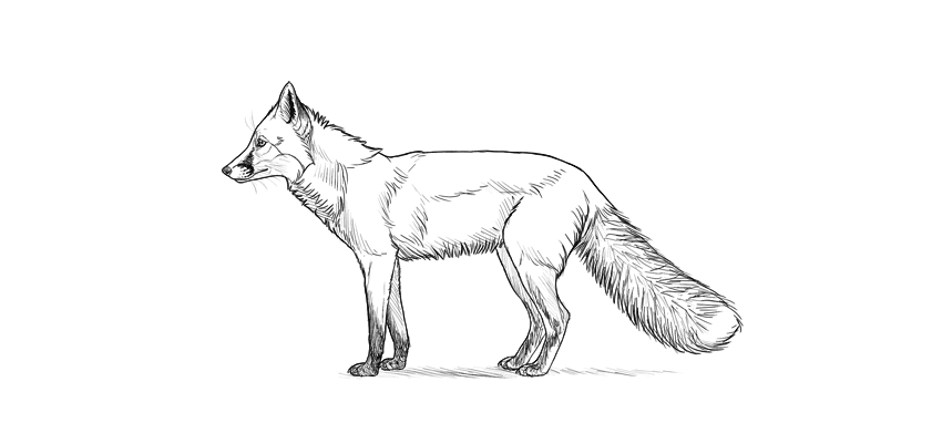 how to draw fox step by step