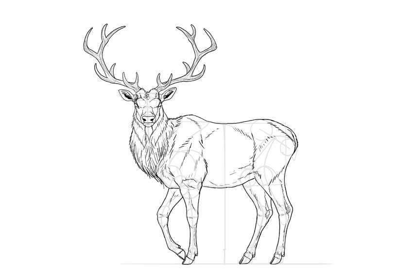 How to draw deer body details