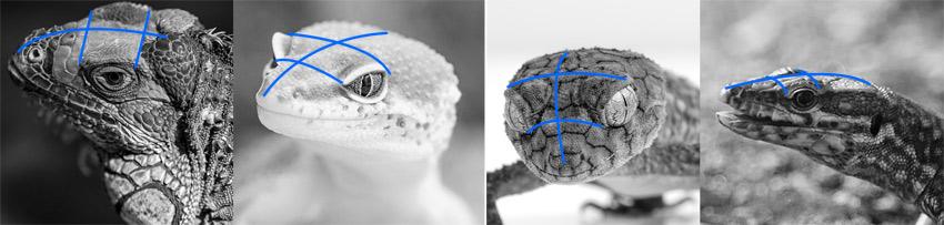 lizard head proportions