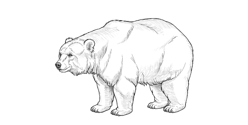 bear drawing top shading