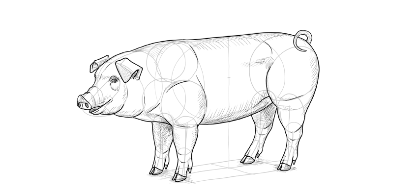 Pig Face Line Drawing : How to draw a pig