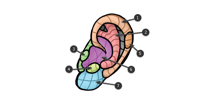 ear structure anatomy parts