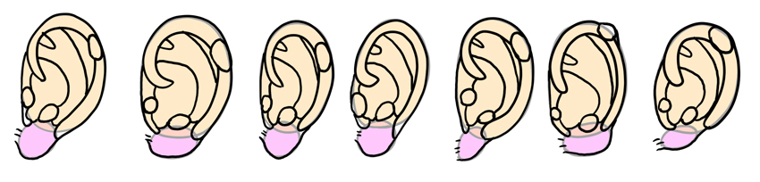 various ear shapes