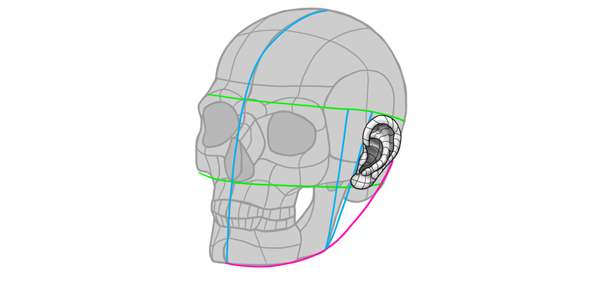 ear position on skull