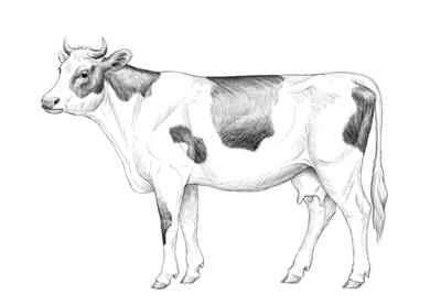 How to draw cow preview