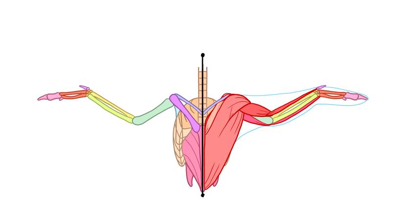 bird muscles front