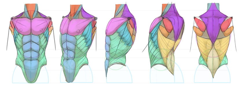 anime torso chest anatomy