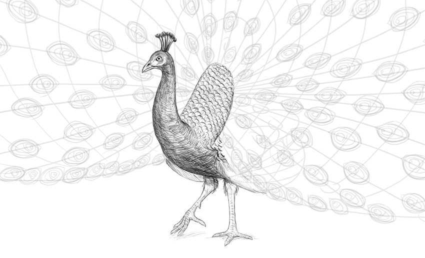 how to shade peacock