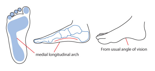 The medial longitudinal arch