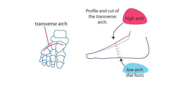 The transverse arch
