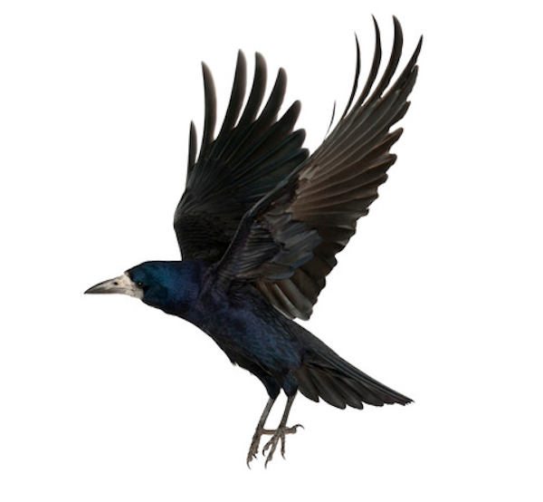 photo of crow flying
