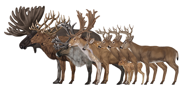 Illustration for tutorial How to Draw Deer