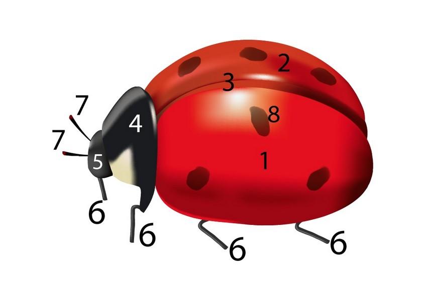 assemble ladybug vector