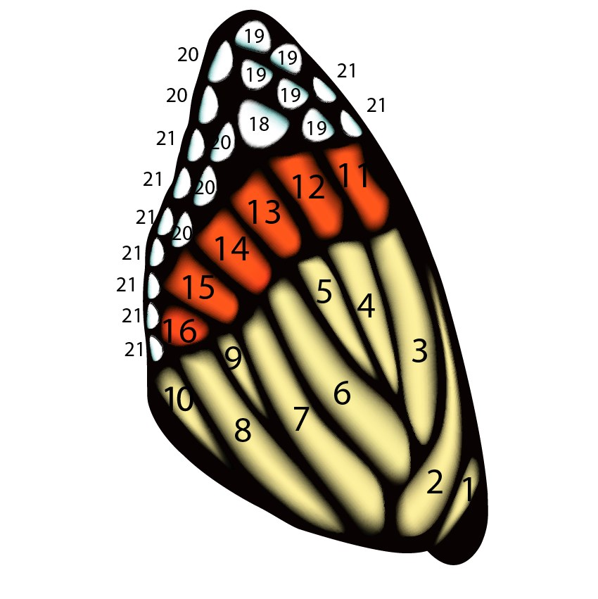 insect wing