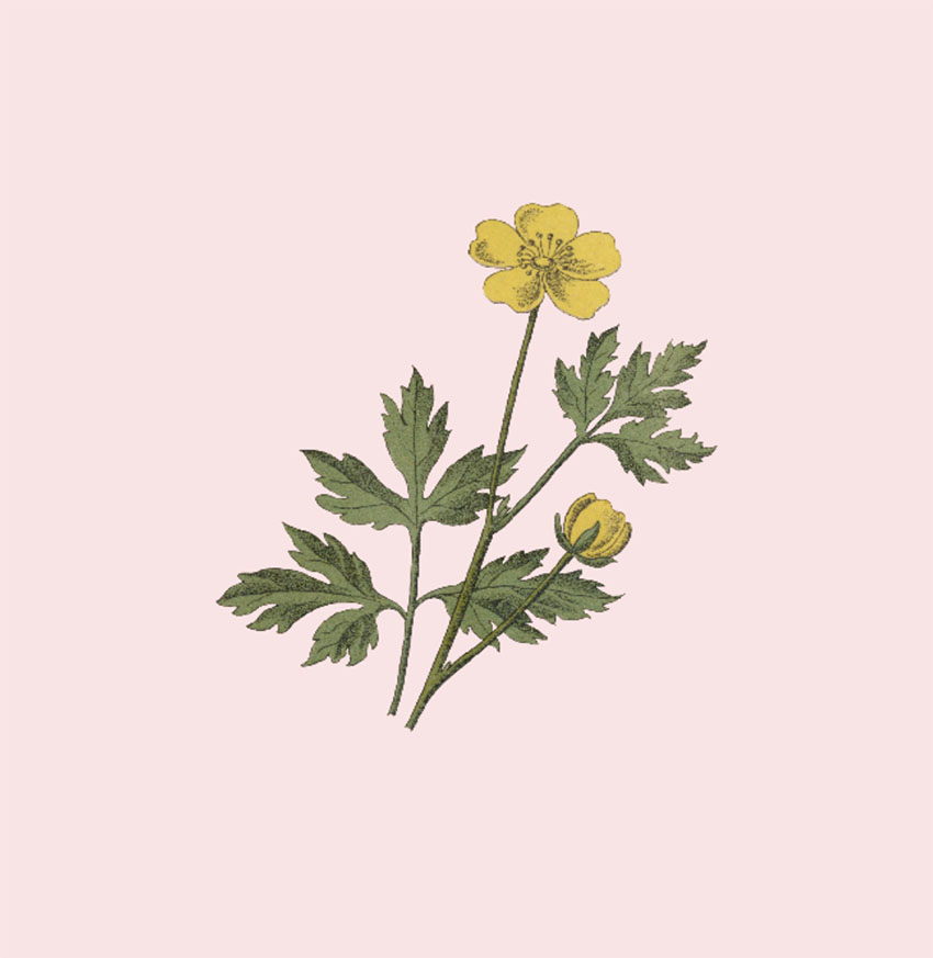 Scientific Botanical Illustration