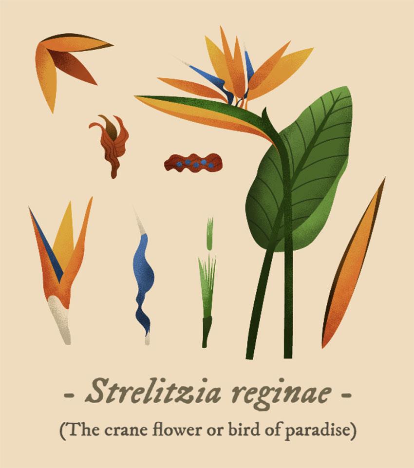 Bird of Paradise Botanical Illustration