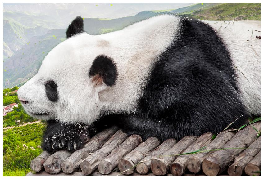 干净的熊猫