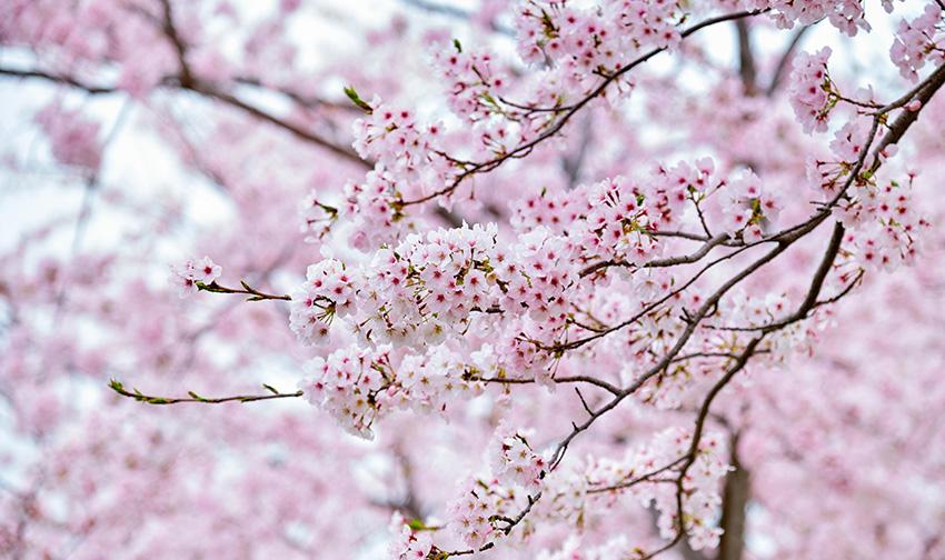 Blooming Sakura Cherry Blossom Background