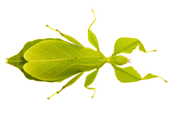 A leaf insect Phyllium sp photographed in the MYN field studio