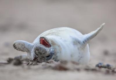 Baby seal laughing out loud pqcyz9u%20(2)