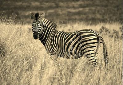 Zebra thumbnail