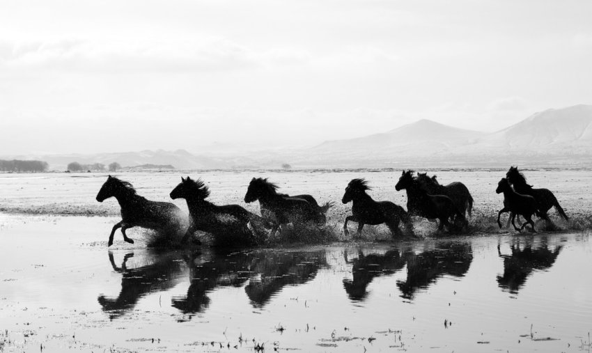 Wild horses running accross a pond