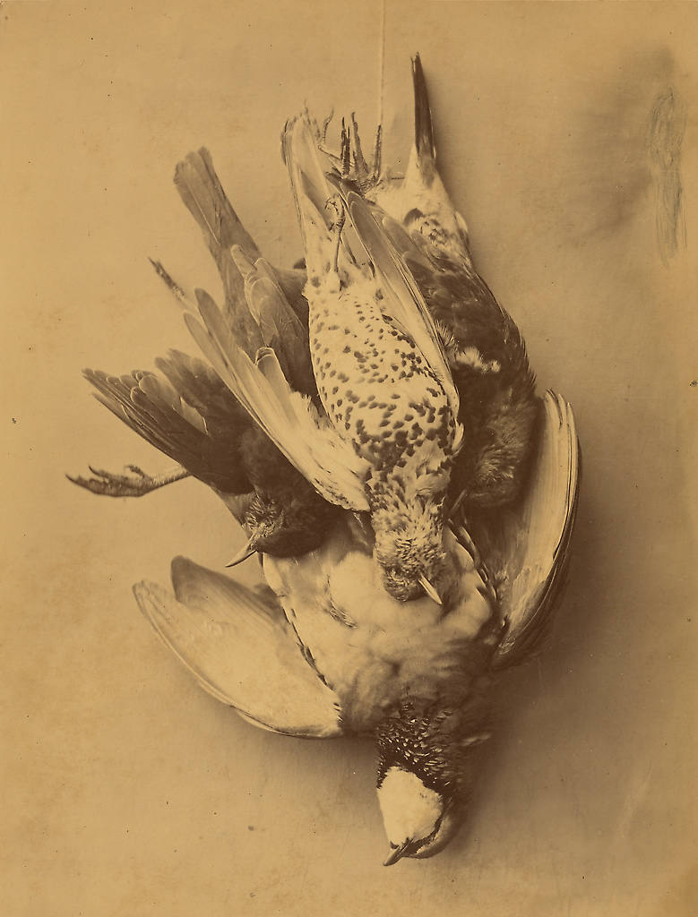 Photographic still life image of birds deceased