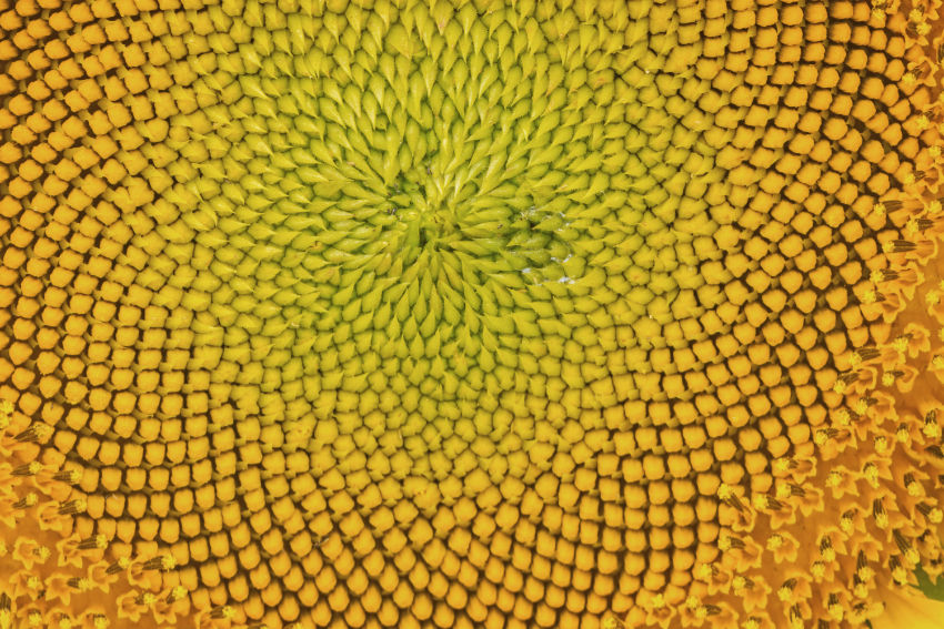 Macrophotography of a sunflower flower