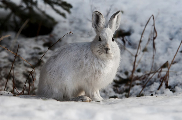 snow rabbit