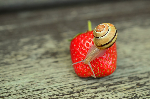 snail on strawberry