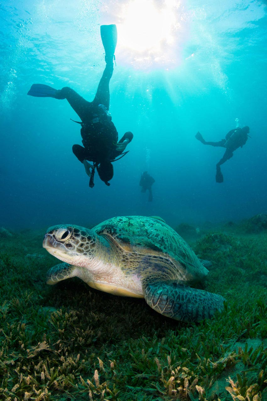 sea turtle and scuba divers