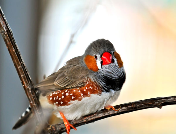 Photodune Zebra Finch