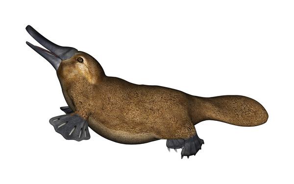 Photodune Platypus