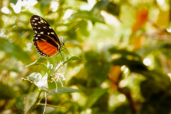 Monarch butterfly sitting on a leaf