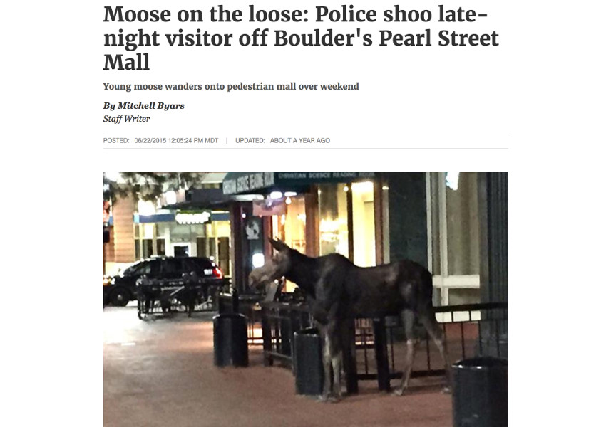 News story of a moose in downtown Boulder Colorado