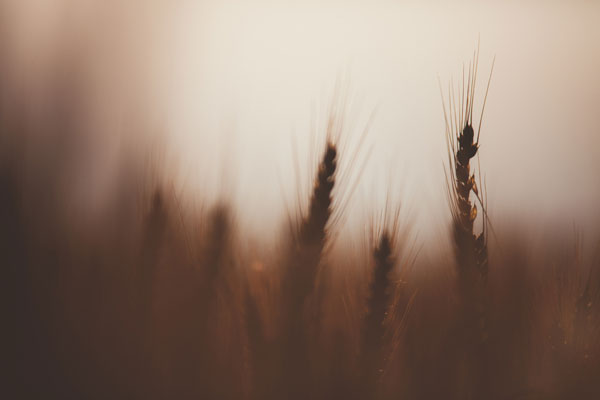 out of focus wheat field